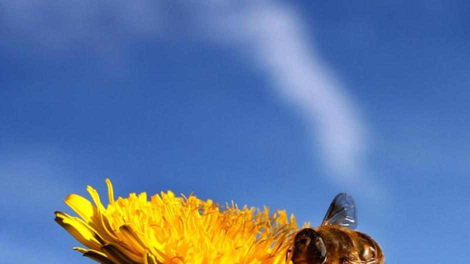 Sekundärmetabolit: So hilft Nikotin Bienen und Hummeln ...