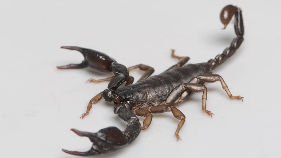 mann skorpion