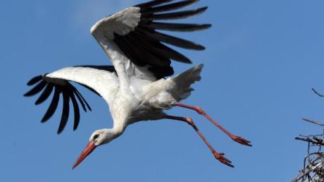 Für gewöhnlich sieht man Störche in der Nähe ihrer Nester auf den Dächern der Stadt. Im Landkreis Regensburg erlangte ein Vogel Berühmtheit, weil er an einer Haltestelle stand.