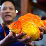Ein Züchter zeigt während der Internationalen Goldfisch-Meisterschaften im chinesischen Fuzhou stolz seinen 3,5 Pfund schweren Fisch. Foto: Wei Peiquan/XinHua