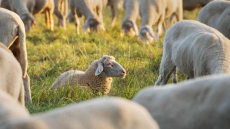 Ein Unbekannter hat ein Schaf mit einem Messer getötet.