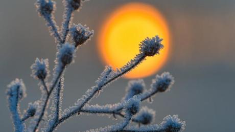 Mit Raureif bedeckt ist eine Pflanze auf einer Wiese am deutsch-polnischen Grenzfluss Oder. Das Thermometer zeigte am Morgen im Osten von Brandenburg minus neun Grad Celsius an. Foto: Patrick Pleul