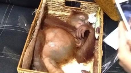 Das von der Naturschutzbehörde Bali BKSDA Bali zur Verfügung gestellte Bild zeigt einen betäubten Orang-Utan, der angeblich von einem Russen von der Insel geschmuggelt wurde.
