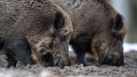 Schweinepest: Statt 20 Euro können Jäger für ein erlegtes Wildschwein in grenznahen Landkreisen zu Thüringen, Sachsen und Tschechien 100 Euro statt bisher 20 Euro bekommen.