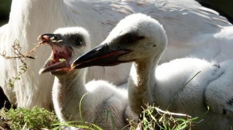 Der Landesbund für Vogelschutz kürte zum Abschluss des Jahres Gewinner und Verlierer: Der Weißstorch, der sich munter vermehrt, gehört zu den Gewinnern.