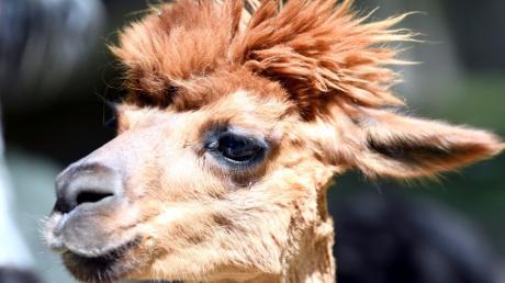 Alpakas sind beliebt, weil sie gutmütig und nett anzusehen sind. Auch im Augsburger Zoo mag man sie.