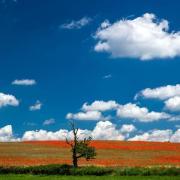 Ein teilweise abgestorbener Baum steht mutterseelenallein auf einem Feld mit blühenden Klatschmohn. Foto: Jens Büttner
