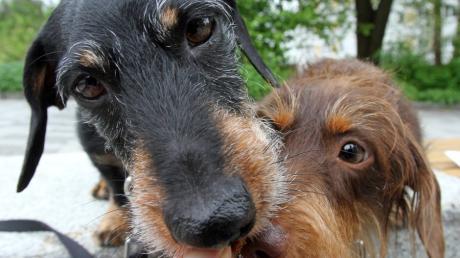 Sie sehen wirklich niedlich aus und können den Menschen eine große Hilfe sein. Nur der Hundekot macht den Menschen in Adelsried zu schaffen. Der Gemeinderat überlegt, eine weitere Hundetoilette aufzustellen.