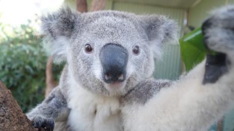 Dieser Koala im Zoo von Sidney schießt ein Selfie von sich, indem er den Sensor einer Digitalkamera betätigt.