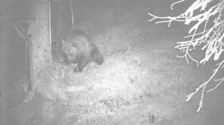 Eine Wildkamera hat im Bereich des Klausenwaldes bei Reutte im Tiroler Außerfern einen Bären aufgenommen. E