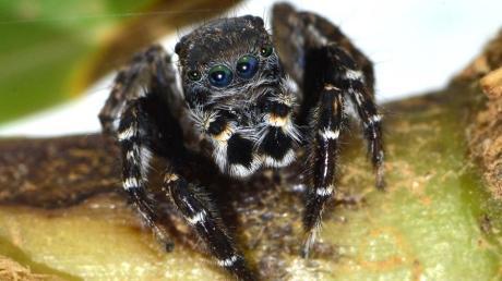 Forscher der Universität Hamburg haben eine in Australien lebende Spinnenart nach dem Modeschöpfer Karl Lagerfeld benannt.