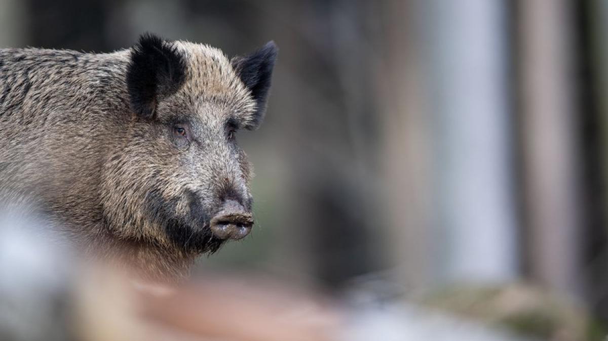 Jagd: Georg Veh wird für das 1000. Wildschwein gefeiert