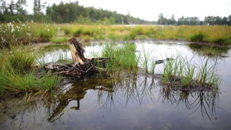 Umweltschützern zufolge sind Moore die effektivsten Kohlenstoffspeicher unter den Landökosystemen. Ein Naturschutzgebiet ist zum Beispiel das Donaumoos.