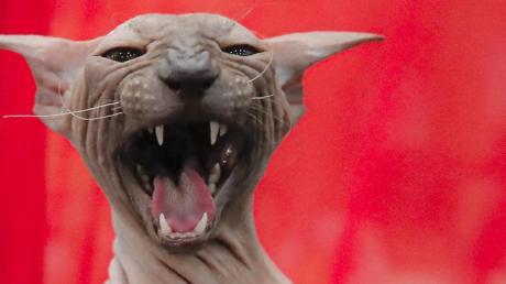 Katzen an die Leine - das fordern zwei Juristen aus den Niederlanden.