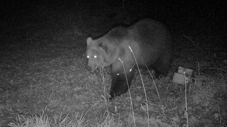 Eine Wildkamera hat bei Garmisch-Partenkirchen einen Bären fotografiert.