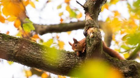Ein Eichhörnchen flitzt in Stuttgart auf einem Baum mit herbstlich verfärbten Blättern herum. Foto: Tom Weller/dpa