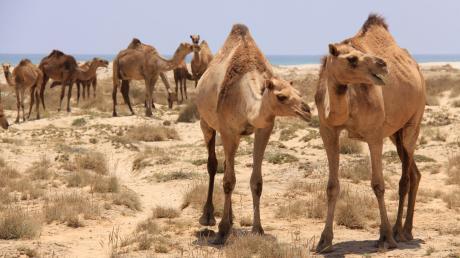Auf dem Weg zu Salalahs Stränden muss man schon mal Kamelen die Vorfahrt geben.