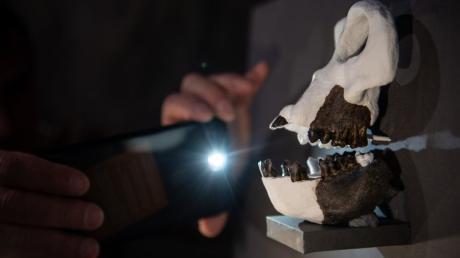 """Paläontologen haben bei Kaufbeuren Fossilien entdeckt, die ein neues Licht auf die Evolution werfen. Menschenaffe """"Danuvius guggenmosi"""" konnte vor 11,6 Millionen Jahren aufrecht gehen."""