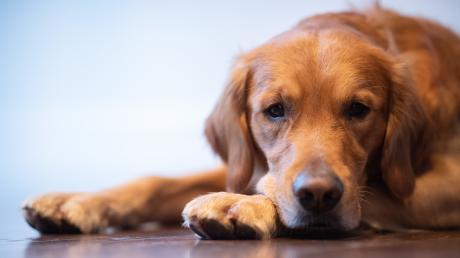 Hunde haben es in der Sommerhitze schwer: Schwitzen wie ein Mensch, um sich abzukühlen, können sie nicht. Ein heißes Auto kann daher zur tödlichen Gefahr werden.