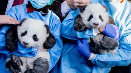 Die Panda-Zwillinge im Berliner Zoo heißen Meng Xiang («Ersehnter Traum») und Meng Yuan («Erfüllter Traum»). Das gab der Tiergarten am Montag bekannt.