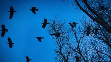 Rabenkrähen fliegen am frühen Morgen am Himmel über Hannover.