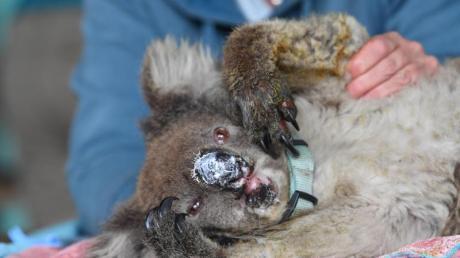 Ein verletzter Koala mit eingesalbter Nase ruht sich im «Kangaroo Island Wildlife Park» aus.  Er konnte aus einem der verheerenden Buschfeuer in Australien gerettet werden.
