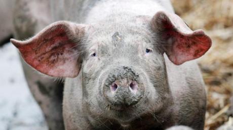 In Polen wurde ein Landwirt von seinen eigenen Schweinen gefressen.