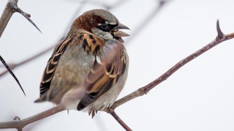 Das ist ein Spatz - viele Kinder wissen das heute jedoch nicht mehr, wie Forscher festgestellt haben. Hier erhalten Sie einen Überblick über die heimischen Wintervögel in Bayern.