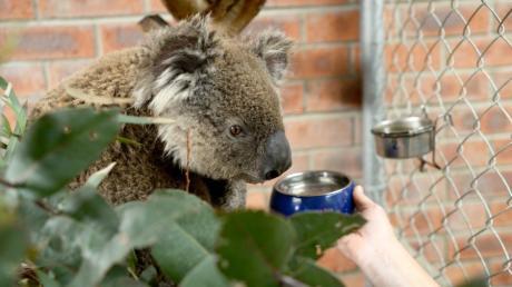 """Koala Ian hat einen Buschbrand mit leichten Verletzungen überlebt. Er leidet an Atemwegsproblemen und soll in dem """"Fünf-Sterne-Hotel"""" für Koalas aufgepäppelt werden."""