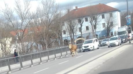 Die Autos auf der MAN-Brücke blieben lieber hinter dem Stier.