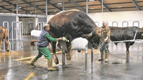 Der sechsjährige Braunviehbulle Ag Hudson beim Absamen in der neuen Rinderbesamungsstation.