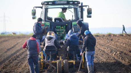 Erntehelfer pflanzen auf einem Feld neue Spargelpflanzen. Nun scheint der Weg frei, dass Saisonarbeiter nach Deutschland kommen können.