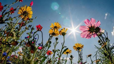 Farbkleckse am Feld: Ein blühender Wiesenstreifen bietet InsektenFutter.