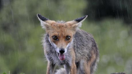 Ein Fuchs ist bei Ellze bei einem Wildunfall getötet worden.
