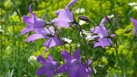 Die Wiesen-Glockenblume war früher häufig zu finden. Heute ist sie bereits in einigen Gebieten Deutschlands ausgestorben.