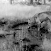 Im Gemeindebereich Wessobrunn ist ein Wolf gesichtet worden. Die Wildtierkamera von Josef Hang hat das Tier fotografiert.