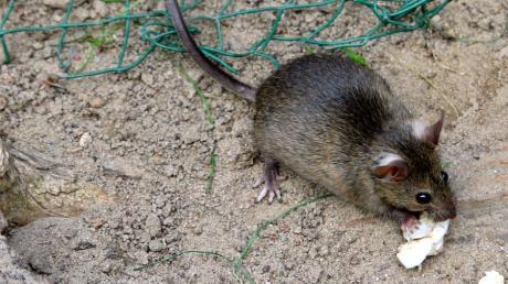 Bislang hat Pöttmes die Rattenbekämpfung als freiwillige Leistung übernommen. Nun müssen die Einwohner selbst Fallen aufstellen.