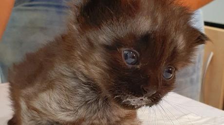 Das ist eine der drei Babykatzen, die in Rain in einer Plastiktüte im Stadtpark ausgesetzt wurden.