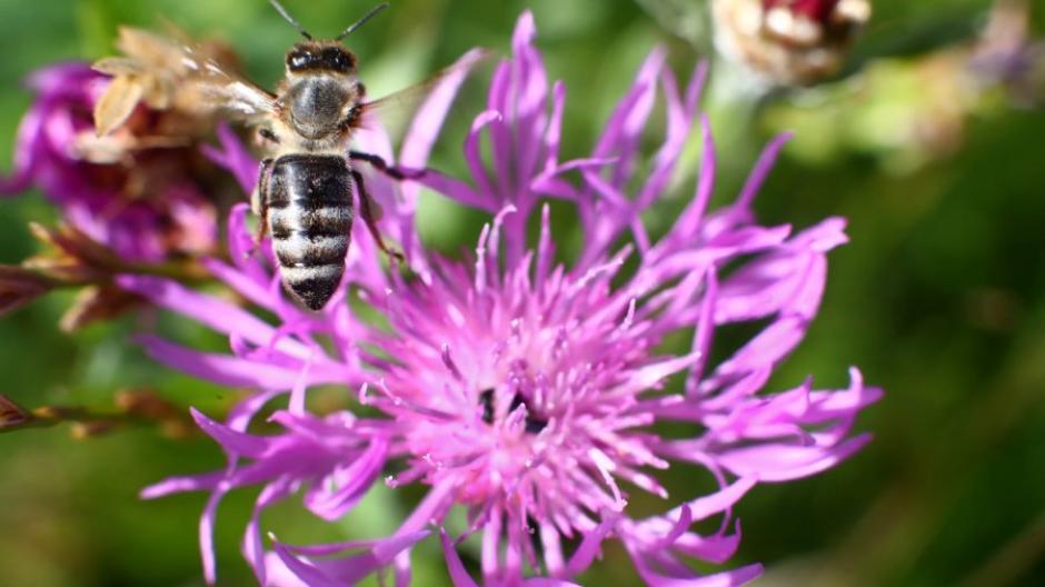 Auf Blühwiesen fühlen sich Insekten, etwa Wildbienen wohl. In Augsburg spürt man erste Erfolge beim Artenschutz.
