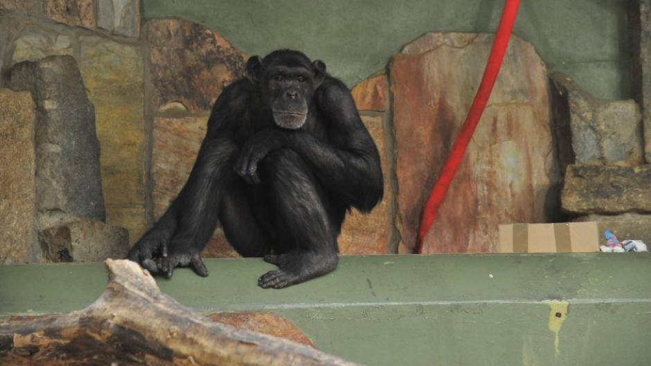 Akemo ist einer von drei Schimpansen im Augsburger Zoo.