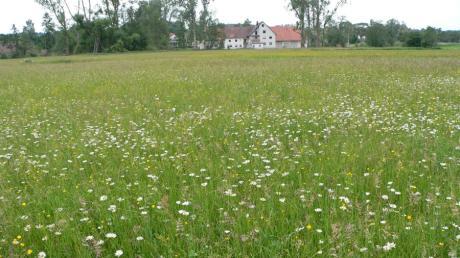 Eine Blühwiese, die Insekten gefällt, muss für das menschliche Auge nicht unbedingt abwechslungsreich sein. Dieses Bild stammt aus dem Sommer, im Hintergrund ist das Umweltzentrum in Kreppen zu sehen.