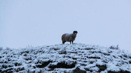 Mehrere Schafe wurden vor Weihnachten in Seifertshofen getötet.