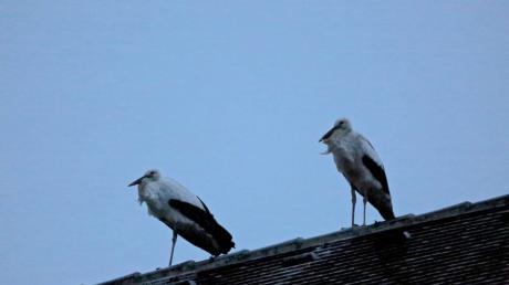 Immer wieder sind in Mering auf dem Dach der Kirche Sankt Michael Störche zu sehen. Warum fliegen sie noch nicht nach Afrika?