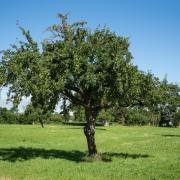 Apfelbaum in Riedheim im Jahreslauf.