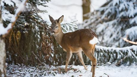 Während der Futtersuche sichert ein junger Rehbock seine Umgebung. Im Landkreis Dillingen gibt es unterschiedliche Meinungen dazu, ob eine Fütterung diesen Winter notwendig ist oder nicht.