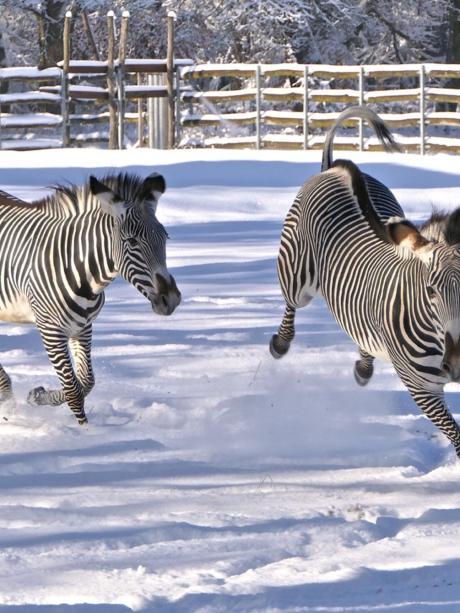 Grevy-Zebras haben Spaß im Schnee. Zoo Augsburg.