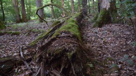 Das Naturwaldreservat Mitteleich bei Unterliezheim vermittelt eine eigenartige Stimmung. Seit 1978 sind die Bäume hier sich selbst überlassen.