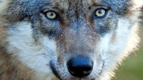 Ein Wolf hat ein Reh bei Eurasburg gerissen. Das belegt jetzt ein DNA-Test.
