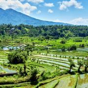 Dieses sanfte Grün: Reisterrassen auf Bali