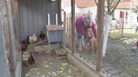 Die Hühner von Hühnerhalterin Martina Fischer aus Augsburg-Göggingen müssen wegen der Geflügelpest derzeit im Käfig bleiben.